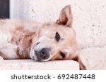 beige stray dog's portrait.... | Shutterstock . vector #692487448