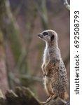 alert meerkat | Shutterstock . vector #692508793