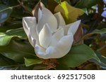 Small photo of Magnolia grandiflora white amazing tree flower in bloom, lots of branches around