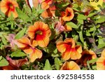 Calibrachoa  Minifamous Orange...