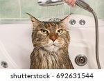 wet cat. muzzle of wet cat in... | Shutterstock . vector #692631544