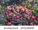 The Rotten Apples Fallen On Th...