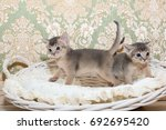 Stock photo cute kittens little purebred blue abyssinian kittens in the basket playing together adorable 692695420