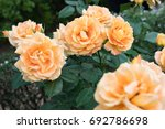 Orange Rose.