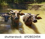 Water Buffalo Are Swimming In...