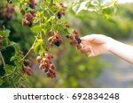 Hands Picking Blackberries...