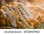 Macro Photo Of Wheat. Full Of...