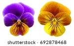 bundle of purple pansy flowers... | Shutterstock . vector #692878468
