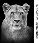 female lion portrait in black... | Shutterstock . vector #692899378