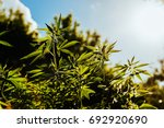 fresh agricultural hemp grows... | Shutterstock . vector #692920690