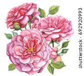 Stock photo beautiful pink flower roses watercolor 692920993