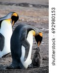 king penguins with chick ... | Shutterstock . vector #692980153