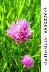 Small photo of flower of Wild Chives, Allium schoenoprasum, nature, herb, edible herb, edible plant, plant, outdoor