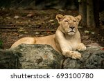Image Of Lioness  Female Lion...