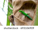 lizard on palm leaves tropical... | Shutterstock . vector #693106909
