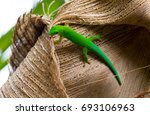 lizard on palm leaves tropical... | Shutterstock . vector #693106963
