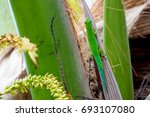 lizard on palm leaves tropical... | Shutterstock . vector #693107080