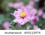 amazing anemone flower close up.... | Shutterstock . vector #693113974