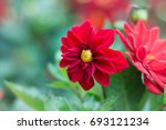 colorful red dahlia flower. ... | Shutterstock . vector #693121234