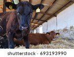 Small photo of Agnus calf looks right in the camera while the cow lies in the background