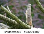 cute meerkat looking curious... | Shutterstock . vector #693201589