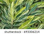 Small photo of Background foliage, Alpinia variegata