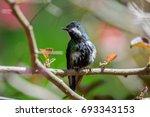 hummingbird trochilidae flying... | Shutterstock . vector #693343153