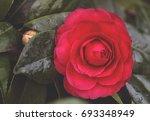Red Camellia Flower