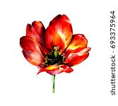 Stock photo hand drawn red watercolor tulip on white background illustration of beautifull flower 693375964