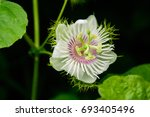 Passiflora Foetida Passion...