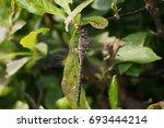 Odonata Dragonfly