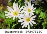 Anemone Blanda White Splendour...