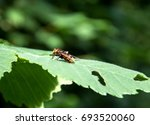 Hornet Hoverfly  Volucella...