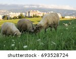 sheep on the meadow with town... | Shutterstock . vector #693528724