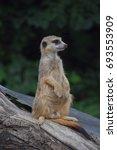meerkats  | Shutterstock . vector #693553909