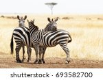 three zebra snuggling together... | Shutterstock . vector #693582700