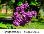 blossoming branch of the lilac... | Shutterstock . vector #693610018