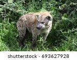 hyena kenya africa savannah... | Shutterstock . vector #693627928
