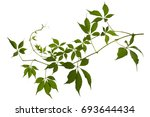 vine with leaves isolated on... | Shutterstock . vector #693644434