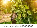 old vineyards with red wine... | Shutterstock . vector #693653068