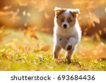 Stock photo dog australian shepherd puppy jumping in autumn leaves over a meadow 693684436