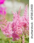Small photo of Pink astilbe flower blooming in garden