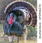 Closeup Of Male Turkey In Full...