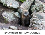 Yellow Bellied Marmot Peeking...