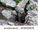 Yellow Bellied Marmot Peeking...