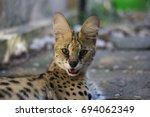 Beautiful Serval Cat