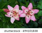 Asiatic Lily Two Flowers Pink...