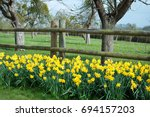 Daffodils Along A Ranch Fence.