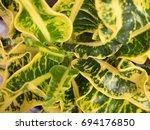 codiaeum variegatum leaf | Shutterstock . vector #694176850