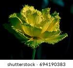 Yellow Tulip On A Black...